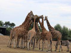 Ga op safari in eigen land en bezoek Beekse Bergen