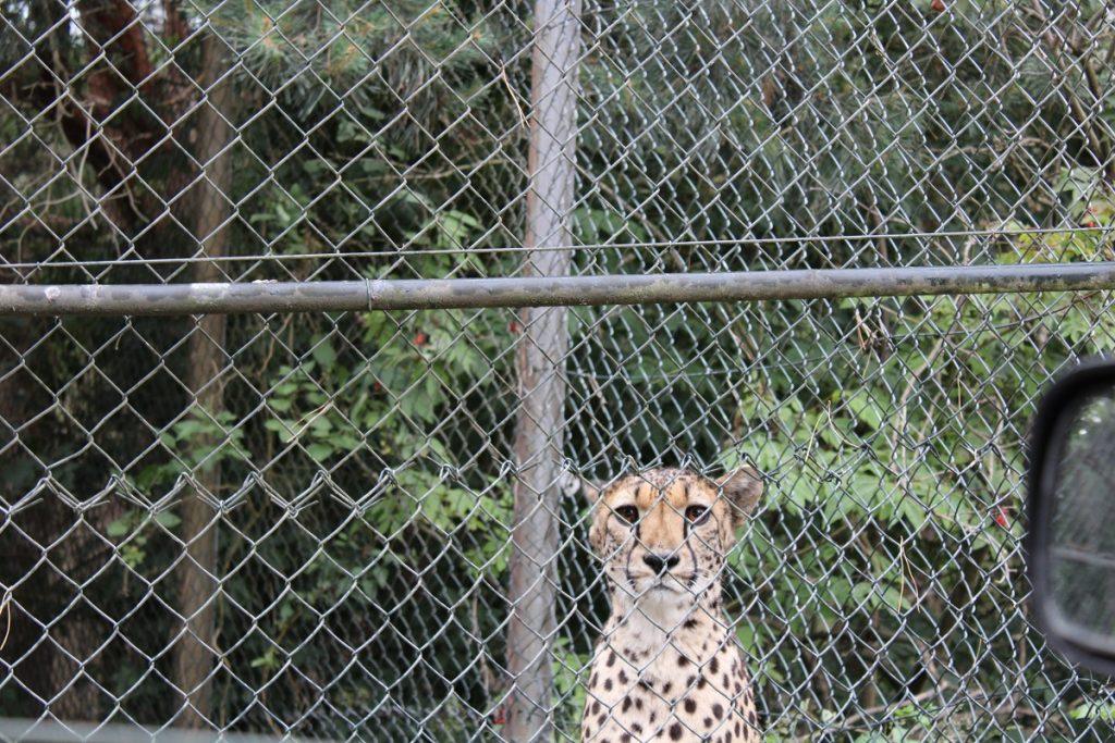 Ga op safari in eigen land en bezoek Beekse Bergen cheetah