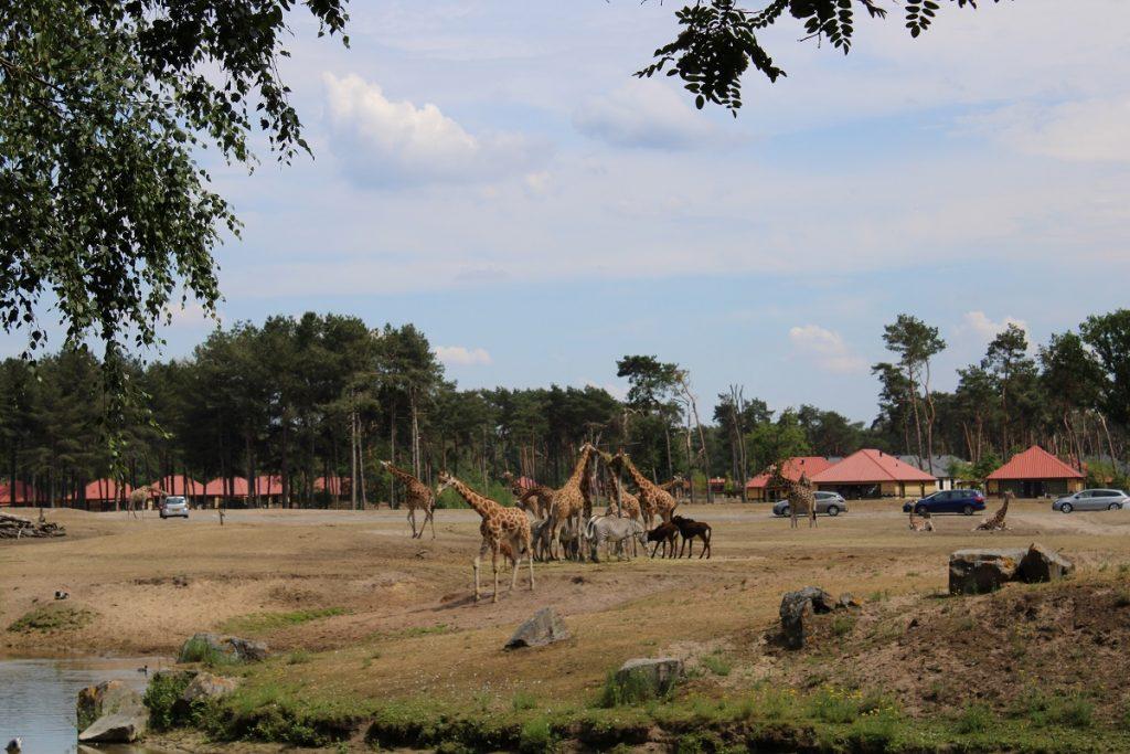Ga op safari in eigen land en bezoek Beekse Bergen autosafari