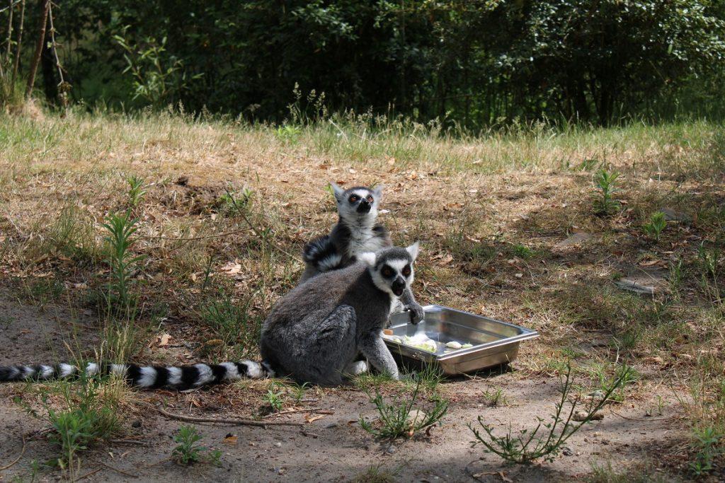 ga op safari in eigen land en bezoek Beekse Bergen maki