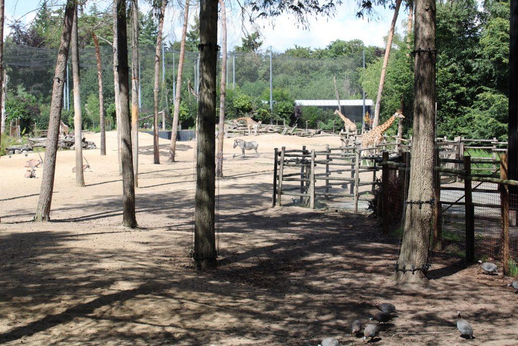 Dierenpark Amersfoort zebra en giraffes