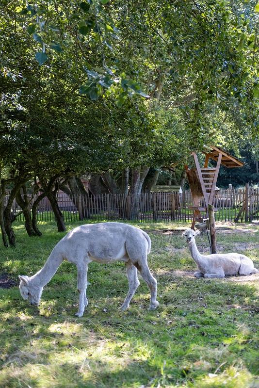 Onze 5 favoriete kidsproof plekjes op Texel alpacas
